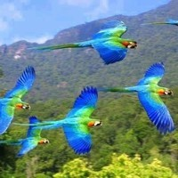bleus oiseaux
