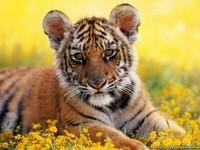 tigre petit
