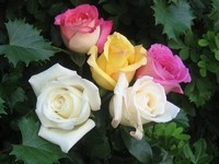 roses d