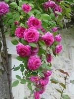 rose f