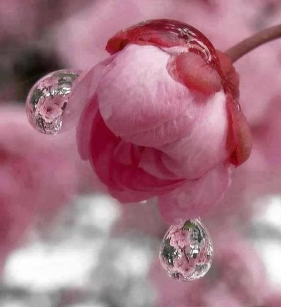 rose eau