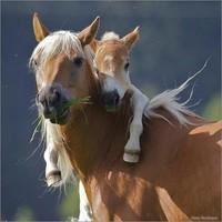 chevaux tendresse