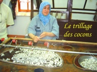 LE TRIAGE DES COCONS