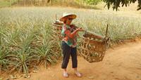 plantation d'ananas