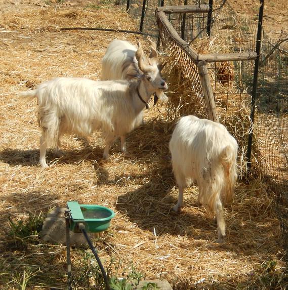Chèvres longues cornes Agrigento