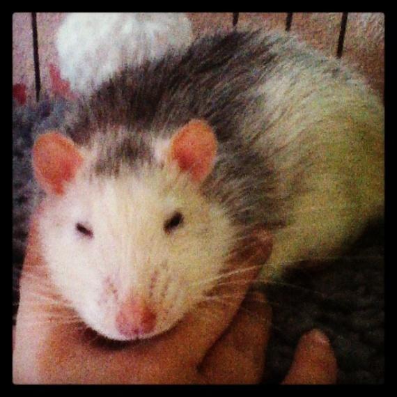 Un rat avec des petites oreilles
