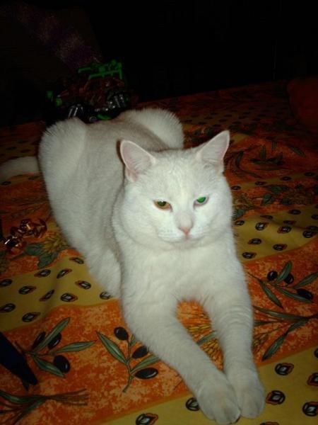 sya tigre blanc