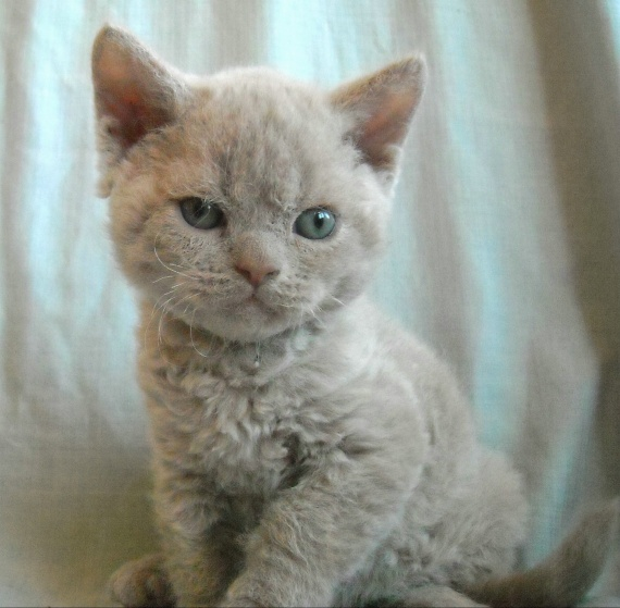 selkirk rex poils courts