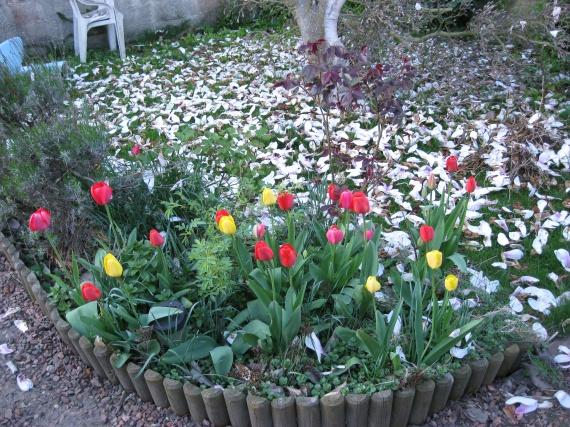 tulippes et pétalles de magniolias