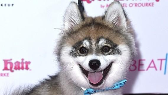 pomsky-dog-breed-pictures-header