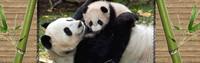 ban pandas