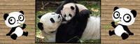 ban pandas 1-