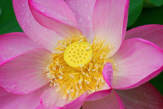 lotus fleur-