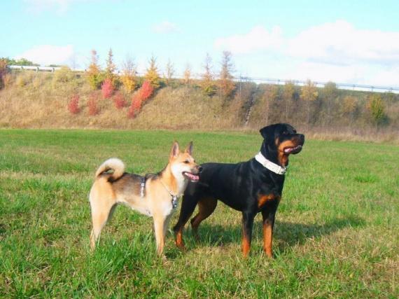 A quel age un chien arrete de grandir ? - Chiens - FORUM
