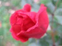 roses-rose-img[1]