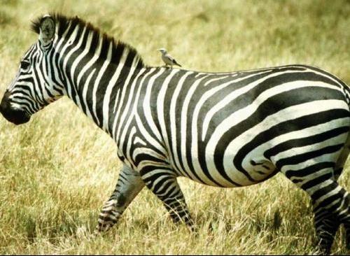 zebre-1