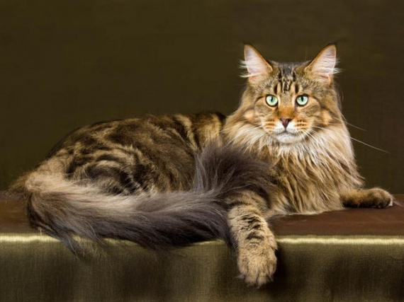 maine-coon