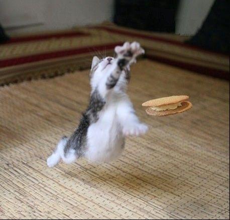 chat gâteau