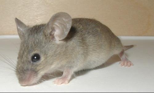 Mouse-19-Dec-2004.jpg1.
