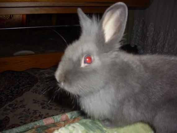 comment convaincre ses parents hamsters cochons d 39 inde lapins forum animaux. Black Bedroom Furniture Sets. Home Design Ideas