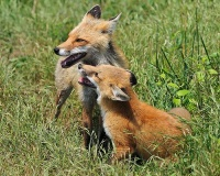 red_fox_and_her_kit