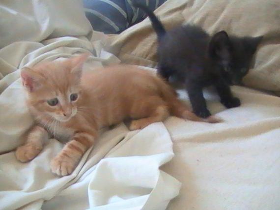 Peine d'amour gagnée [PV Prêle] Assoc-chat-roux-noir-img