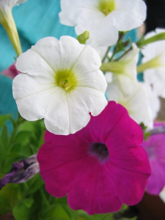 Petunias fleurs du jardin kiki974 photos club for Fleurs du jardin