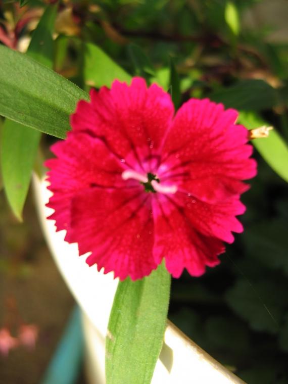 Petit oeillet rouge fleurs du jardin kiki974 photos club doctissimo - Petit insecte rouge jardin besancon ...
