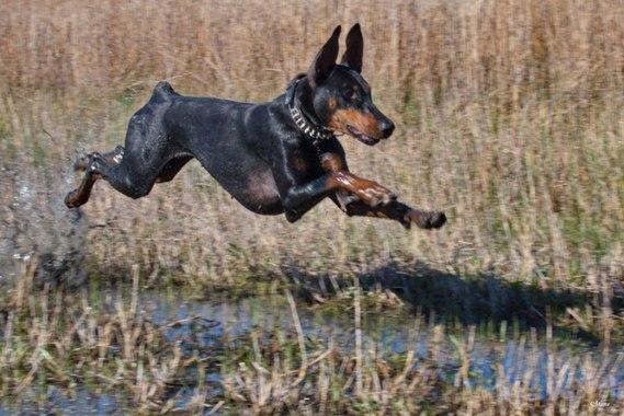 L 39 interdiction de couper les oreilles des dobermann etc page 16 chiens forum animaux - Coupe des oreilles dobermann ...