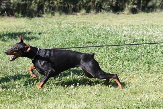 L 39 interdiction de couper les oreilles des dobermann etc page 20 chiens forum animaux - Coupe des oreilles dobermann ...