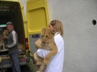 lionceau2