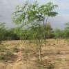 moringa oleiferaabc