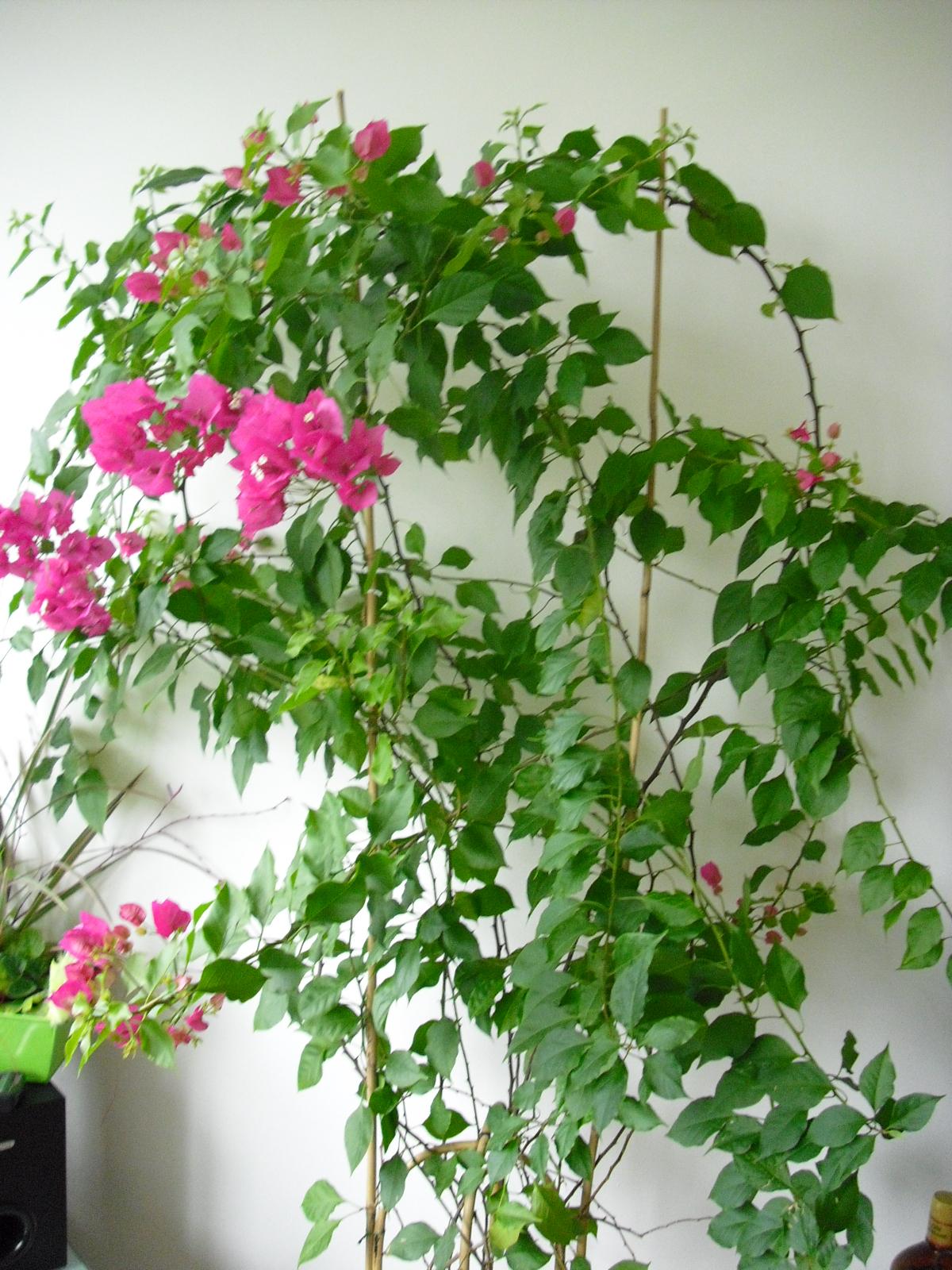 bougainvilliers sans fleurs ? - jardinage - forum vie pratique