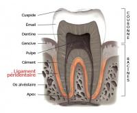 periodontal_ligament_fr