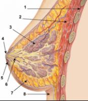 180px-Breast_anatomy_normal_scheme