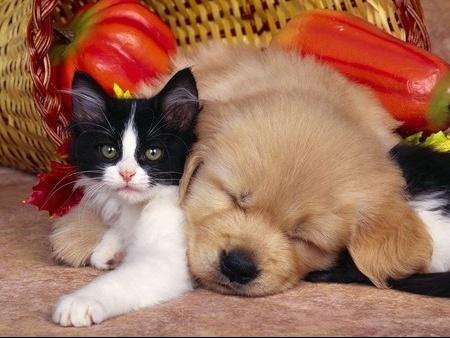 chien_et_chat