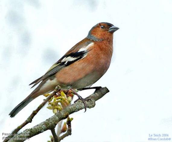 Pinson les oiseaux et autres du jardin emeukal for Les oiseaux du jardin