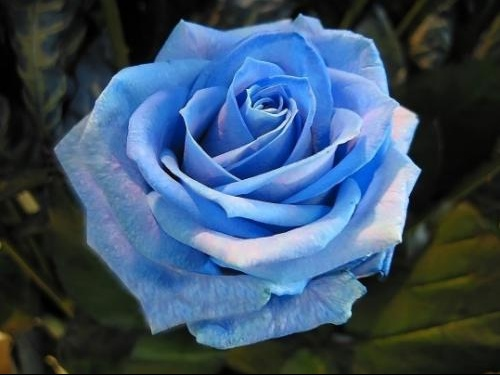 rose-campagne-jardin-alpes-cannet-861738
