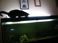 Les chats adorent boire l'eau de l'aquarium qui est bonne car osmosée.
