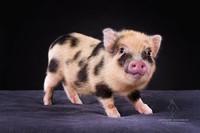 Éleveur de mini cochon