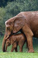 éléphants maman