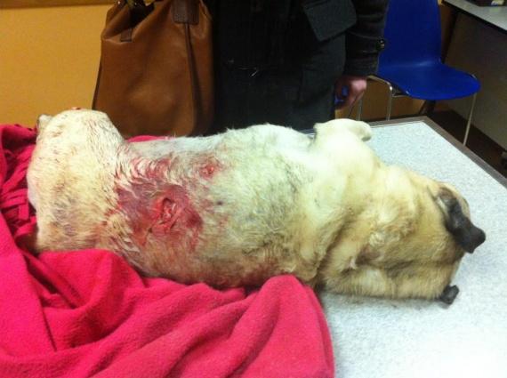Volta attaquée par un dogue allemand