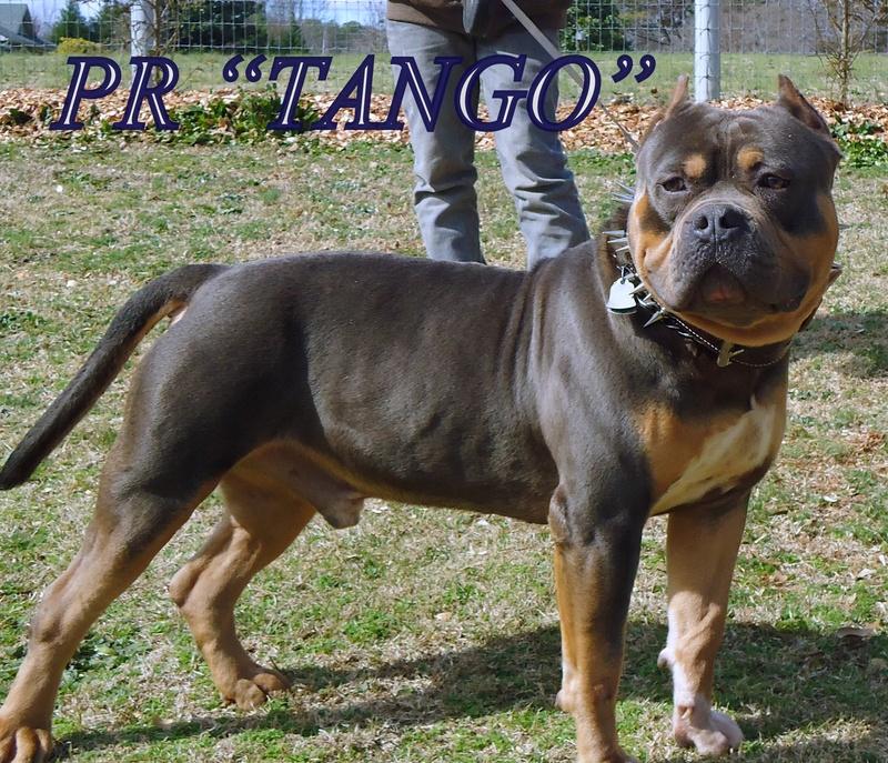 american bully xl 3 - Shanga et Kyra - huelva4984 - Photos - Club ...