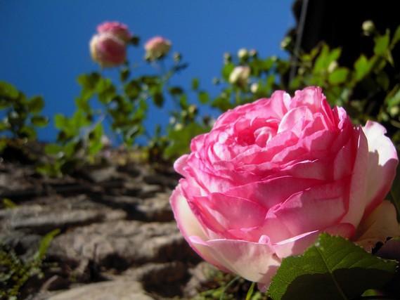 rose-pierre-de-ronsard