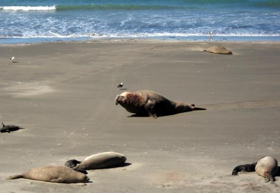 Colonie d'éléphants de mer à Punta Delgada