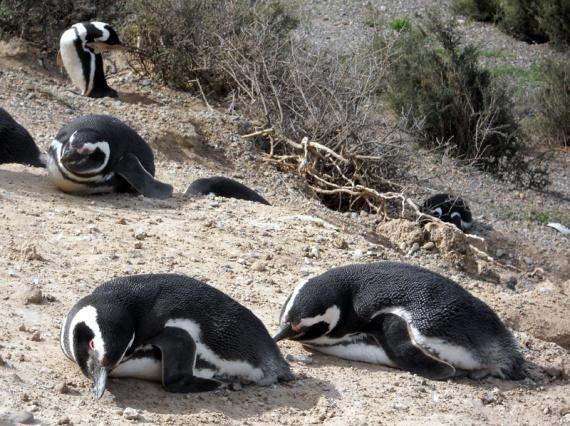 Colonie de pingouins à Caleta Valdes