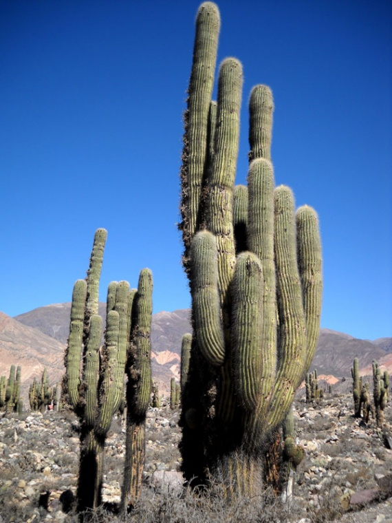 La Quebrada de Humahuaca, cactus candélabres (cardones)