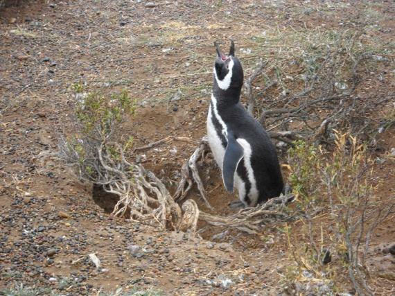 Pingouin (manchot de Magellan) à Punta Tombo