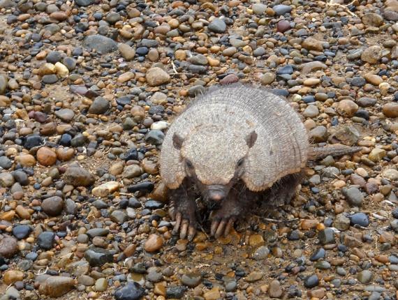 Tatou rencontré sur une piste près de Puerto Madryn