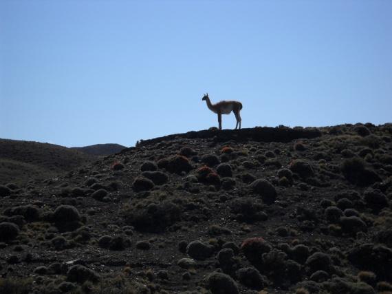 Parque nacional Torres del Paine, silhouette d'un guanaco